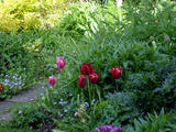 Tulips and Forget-me-Nots (142 kbytes) - Click to enlarge