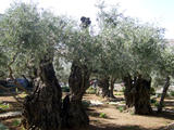 1-2000yr old olive trees in the Garden of Gethsemane (90 kbytes) - Click to enlarge