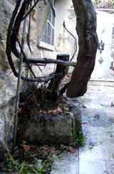 Olive tree in Hebron home of Palestinians vandalised by illegal Israeli settler (106 kbytes) - Click to enlarge