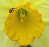 Daffodil and Ladybird Close-Up (37 kbytes) - Click to enlarge