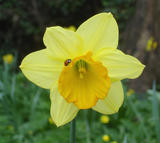 Daffodil and Ladybird (45 kbytes) - Click to enlarge