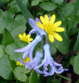 Hyacinth and celandine (66 kbytes) - Click to enlarge