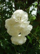 White Flower (75 kbytes) - Click to enlarge