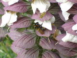Purple and White Flower and Bee (52 kbytes) - Click to enlarge